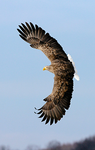 BRD 02 WF0019 01 © Kimball Stock White-Tailed Eagle In Flight