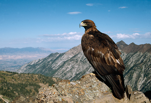 BRD 02 DB0001 01 © Kimball Stock Golden Eagle Perching Atop Rocky Mountains