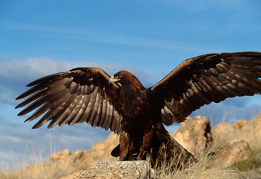 BRD 02 DB0002 01 © Kimball Stock Golden Eagle Spreading Wings On Mountain