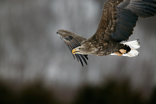 BRD 02 KH0002 01 © Kimball Stock White-Tailed Eagle Soaring