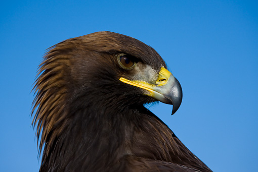 BRD 02 KH0004 01 © Kimball Stock Head Shot Of Golden Eagle