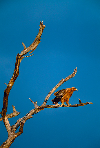 BRD 02 KH0007 01 © Kimball Stock Tawny Eagle Perching On Dead Tree Branch