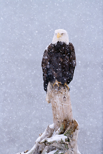 BRD 02 LS0001 01 © Kimball Stock Portrait Of Bald Eagle Perching On Post In Snowstorm Alaska