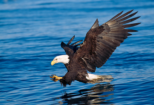 BRD 02 LS0002 01 © Kimball Stock Profile Of Bald Eagle Skimming Over Lake To Catch Fish Alaska