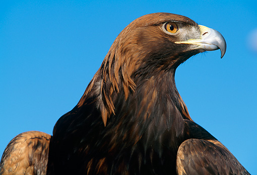 BRD 02 LS0003 01 © Kimball Stock Portrait Profile Head Shot Of Golden Eagle Blue Sky