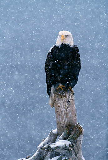 BRD 02 LS0005 01 © Kimball Stock Portrait Of Bald Eagle Perching On Post In Snowstorm Alaska