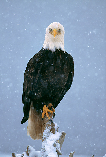BRD 02 LS0006 01 © Kimball Stock Portrait Of Bald Eagle Perching On Post In Snowstorm Alaska