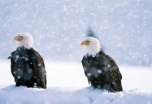 BRD 02 LS0007 01 © Kimball Stock Two Bald Eagles Sitting In Snow In Snowstorm Alaska