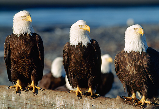 BRD 02 LS0008 01 © Kimball Stock Bald Eagles Sitting On Log