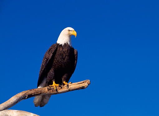BRD 02 NE0002 01 © Kimball Stock Bald Eagle Perching On Branch Blue Sky Alaska