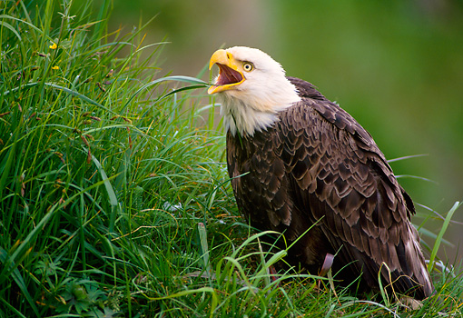 BRD 02 NE0004 01 © Kimball Stock Bald Eagle Sitting In Grass Screeching Alaska