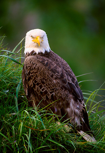 BRD 02 NE0006 01 © Kimball Stock Bald Eagle Sitting In Grass Alaska