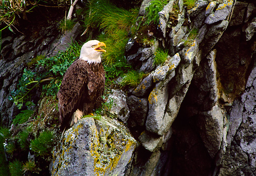 BRD 02 NE0009 01 © Kimball Stock Bald Eagle Perching On Cliff Alaska