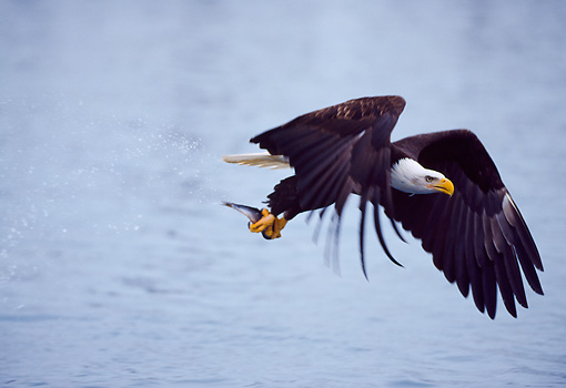 BRD 02 NE0010 01 © Kimball Stock Bald Eagle Fishing Over Water Alaska