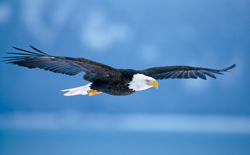 BRD 02 NE0014 01 © Kimball Stock Bald Eagle Flying Alaska