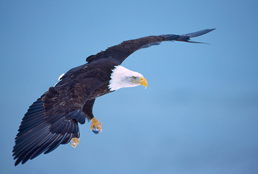 BRD 02 NE0015 01 © Kimball Stock Bald Eagle Flying Alaska