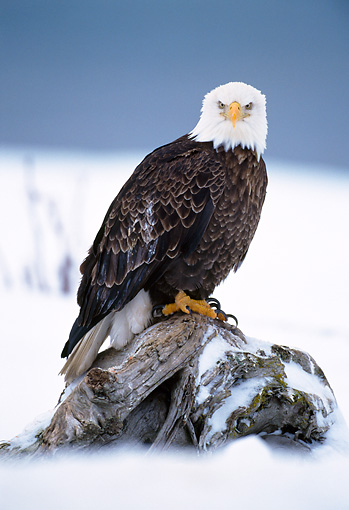BRD 02 NE0018 01 © Kimball Stock Bald Eagle Perching On Snowy Tree Stump Alaska