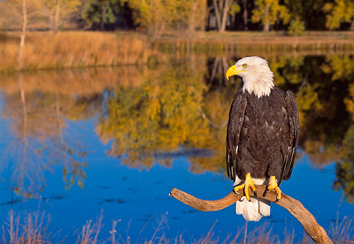 BRD 02 NE0023 01 © Kimball Stock Captive Bald Eagle Perching On Branch By Lake