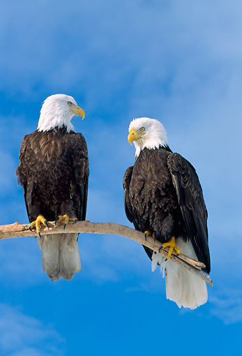 BRD 02 NE0024 01 © Kimball Stock Bald Eagles Perching On Branch Blue Sky