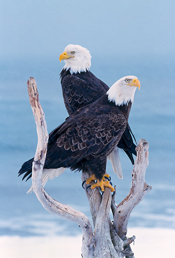 BRD 02 NE0025 01 © Kimball Stock Bald Eagles Perching On Branch