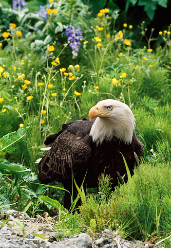 BRD 02 NE0027 01 © Kimball Stock Bald Eagle Sitting In Field With Yellow Flowers