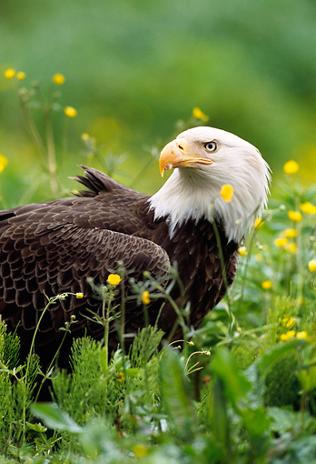 BRD 02 NE0028 01 © Kimball Stock Bald Eagle Sitting In Field With Yellow Flowers Close Up