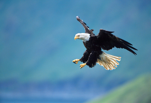 BRD 02 NE0029 01 © Kimball Stock Bald Eagle Flying With Talons Out