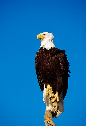 BRD 02 RF0092 01 © Kimball Stock Bald Eagle Perching On Tree Branch Blue Sky
