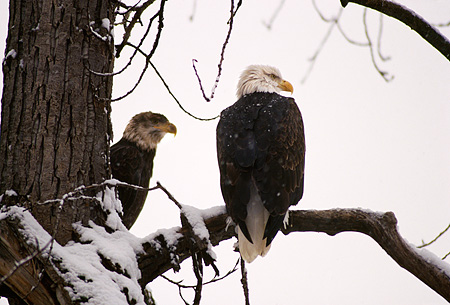 BRD 02 RK0033 11 © Kimball Stock Two Bald Eagles Sitting Together On Tree Branch