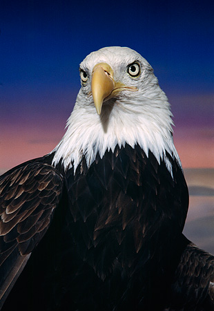 BRD 02 RK0046 49 © Kimball Stock Head Shot Of Bald Eagle