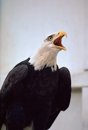 BRD 02 RK0059 01 © Kimball Stock Bald Eagle Screeching