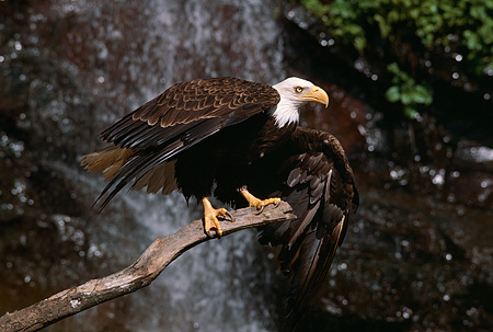 BRD 02 RK0066 12 © Kimball Stock Bald Eagle Sitting On Branch By Waterfall