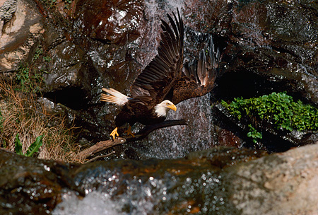 BRD 02 RK0067 04 © Kimball Stock Bald Eagle Sitting On Branch By Waterfall