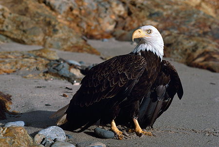 BRD 02 RK0074 19 © Kimball Stock Bald Eagle Sitting On Branch Against Rock At Beach