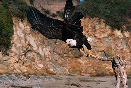 BRD 02 RK0076 05 © Kimball Stock Bald Eagle On Branch By Waterfall