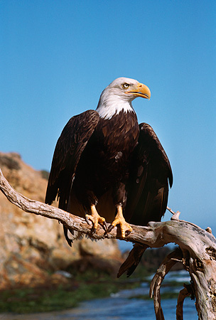 BRD 02 RK0083 15 © Kimball Stock Bald Eagle Sitting On Branch At Beach