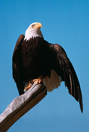 BRD 02 RK0085 09 © Kimball Stock Bald Eagle Sitting On Branch At Beach