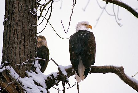 BRD 02 RK0134 09 © Kimball Stock Two Bald Eagles Sitting In Snow Covered Trees   Alaska