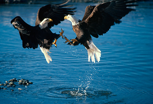 BRD 02 TL0001 01 © Kimball Stock Two Bald Eagles Fighting Above Water