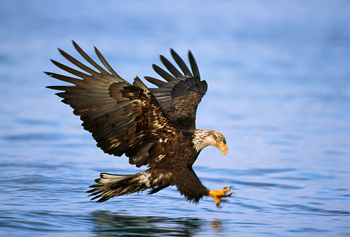 BRD 02 TL0002 01 © Kimball Stock Young Bald Eagle Flying Above Water