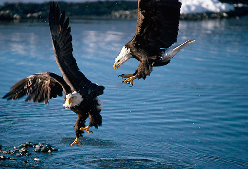 BRD 02 TL0003 01 © Kimball Stock Two Bald Eagles Fighting Above Water