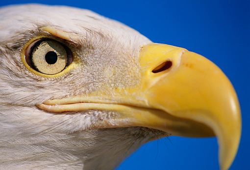 BRD 02 TL0006 01 © Kimball Stock Portrait Head Shot Of Bald Eagle