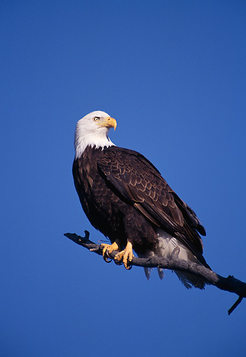 BRD 02 TL0009 01 © Kimball Stock Bald Eagle Sitting On Branch