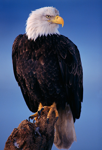BRD 02 TL0012 01 © Kimball Stock Portrait Of Bald Eagle