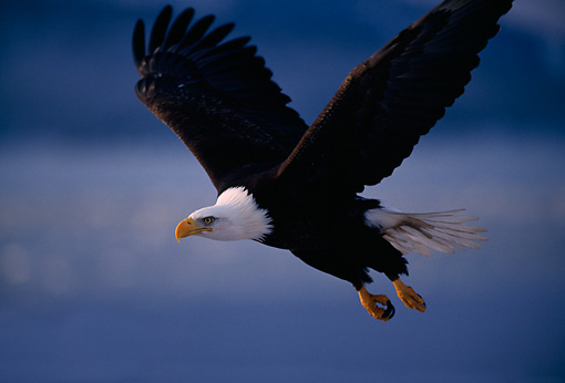 BRD 02 TL0013 01 © Kimball Stock Bald Eagle In Flight