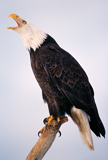 BRD 02 TL0014 01 © Kimball Stock Bald Eagle Sitting On Branch Calling