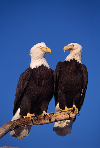 BRD 02 TL0018 01 © Kimball Stock Two Bald Eagle Birds Sitting On Branch
