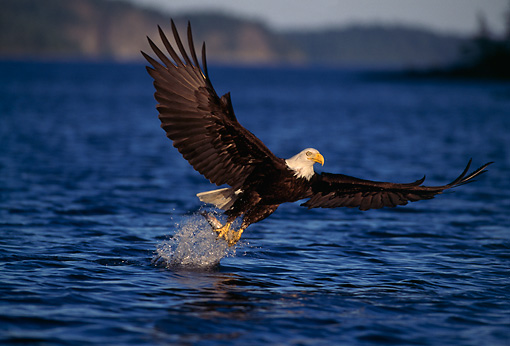 BRD 02 TL0019 01 © Kimball Stock Bald Eagle Fishing Above Water