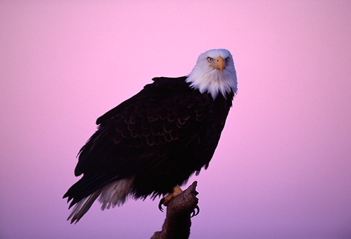 BRD 02 TL0024 01 © Kimball Stock Portrait Of Bald Eagle On Branch At Sunset