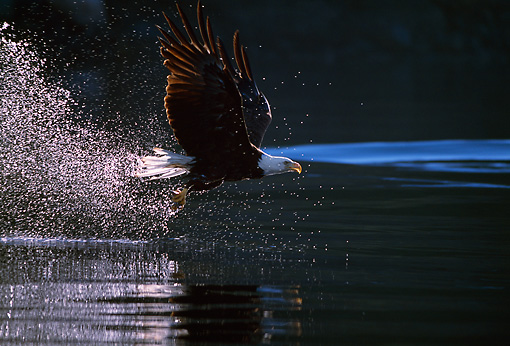 BRD 02 TL0025 01 © Kimball Stock Bald Eagle Fishing Above Water